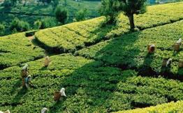 Half Day Tea Tasting Tour Of Munnar's Tea Factory