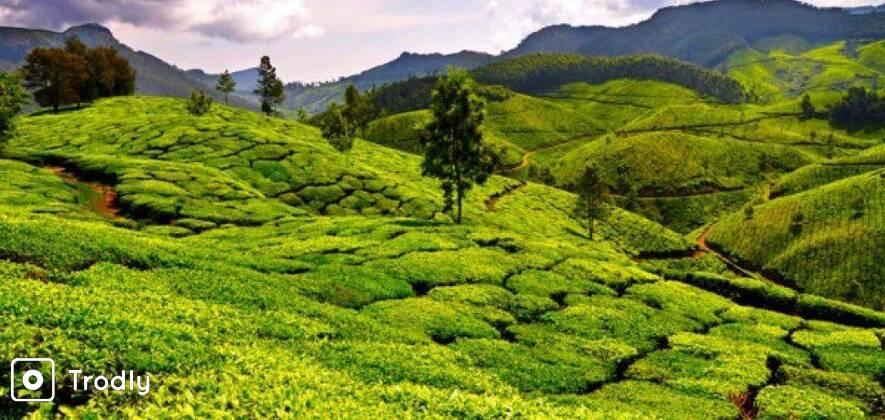 Tea Plucking and Tea Factory Tour in Nuwara Eliya