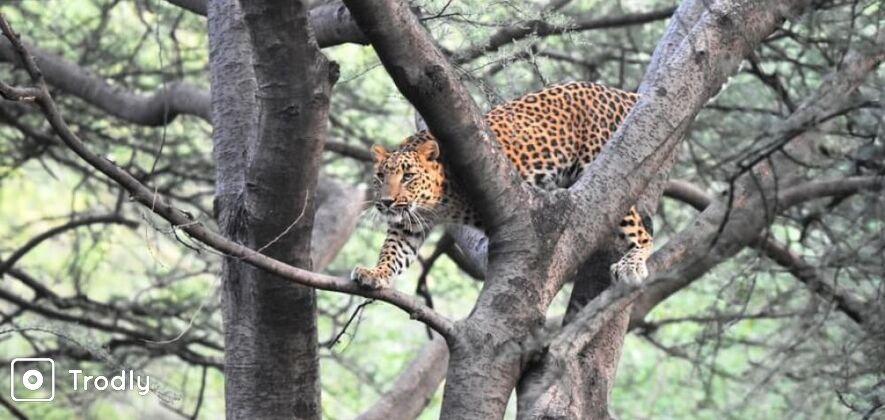Jhalana Panther Safari in Jaipur